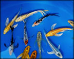 Butterfly Koi Fish, Water Plants, Pond Plants, Aquatic Plants.