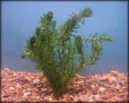 Anacharis, Pond Plants Direct - Buy Aquatic Plants, Water Lilies, Aquatic Shelf Plants, Floating Plants, Flowering Pond Plants, Low Growing Pond Plants, Pickerel Plants, Rush Plants, Cattail, Pond Snails, Tadpoles, Koi Fish, Arrowhead, Iris, Water Hyacinth, Water Lettuce, Anacharis, Hornwort, Pond Supplies