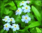 Aquatic Forget-me-not, Pond Plants Direct - Buy Aquatic Plants, Water Lilies, Aquatic Shelf Plants, Floating Plants, Flowering Pond Plants, Low Growing Pond Plants, Pickerel Plants, Rush Plants, Cattail, Pond Snails, Tadpoles, Koi Fish, Arrowhead, Iris, Water Hyacinth, Water Lettuce, Anacharis, Hornwort, Pond Supplies