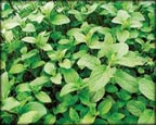 Aquatic Mint, Pond Plants Direct - Buy Aquatic Plants, Water Lilies, Aquatic Shelf Plants, Floating Plants, Flowering Pond Plants, Low Growing Pond Plants, Pickerel Plants, Rush Plants, Cattail, Pond Snails, Tadpoles, Koi Fish, Arrowhead, Iris, Water Hyacinth, Water Lettuce, Anacharis, Hornwort, Pond Supplies