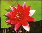 Attraction, Pond Plants Direct - Buy Aquatic Plants, Water Lilies, Aquatic Shelf Plants, Floating Plants, Flowering Pond Plants, Low Growing Pond Plants, Pickerel Plants, Rush Plants, Cattail, Pond Snails, Tadpoles, Koi Fish, Arrowhead, Iris, Water Hyacinth, Water Lettuce, Anacharis, Hornwort, Pond Supplies