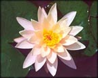 Barbara Dobbins, Pond Plants Direct - Buy Aquatic Plants, Water Lilies, Aquatic Shelf Plants, Floating Plants, Flowering Pond Plants, Low Growing Pond Plants, Pickerel Plants, Rush Plants, Cattail, Pond Snails, Tadpoles, Koi Fish, Arrowhead, Iris, Water Hyacinth, Water Lettuce, Anacharis, Hornwort, Pond Supplies