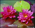 Bernice Ikins, Pond Plants Direct - Buy Aquatic Plants, Water Lilies, Aquatic Shelf Plants, Floating Plants, Flowering Pond Plants, Low Growing Pond Plants, Pickerel Plants, Rush Plants, Cattail, Pond Snails, Tadpoles, Koi Fish, Arrowhead, Iris, Water Hyacinth, Water Lettuce, Anacharis, Hornwort, Pond Supplies