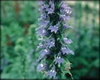 Blue Lobelia, Pond Plants Direct - Buy Aquatic Plants, Water Lilies, Aquatic Shelf Plants, Floating Plants, Flowering Pond Plants, Low Growing Pond Plants, Pickerel Plants, Rush Plants, Cattail, Pond Snails, Tadpoles, Koi Fish, Arrowhead, Iris, Water Hyacinth, Water Lettuce, Anacharis, Hornwort, Pond Supplies