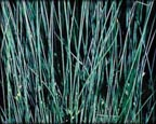 Blue Rush, Pond Plants Direct - Buy Aquatic Plants, Water Lilies, Aquatic Shelf Plants, Floating Plants, Flowering Pond Plants, Low Growing Pond Plants, Pickerel Plants, Rush Plants, Cattail, Pond Snails, Tadpoles, Koi Fish, Arrowhead, Iris, Water Hyacinth, Water Lettuce, Anacharis, Hornwort, Pond Supplies