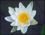 Candida, Pond Plants Direct - Buy Aquatic Plants, Water Lilies, Aquatic Shelf Plants, Floating Plants, Flowering Pond Plants, Low Growing Pond Plants, Pickerel Plants, Rush Plants, Cattail, Pond Snails, Tadpoles, Koi Fish, Arrowhead, Iris, Water Hyacinth, Water Lettuce, Anacharis, Hornwort, Pond Supplies