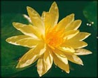 Charlene Strawn, Pond Plants Direct - Buy Aquatic Plants, Water Lilies, Aquatic Shelf Plants, Floating Plants, Flowering Pond Plants, Low Growing Pond Plants, Pickerel Plants, Rush Plants, Cattail, Pond Snails, Tadpoles, Koi Fish, Arrowhead, Iris, Water Hyacinth, Water Lettuce, Anacharis, Hornwort, Pond Supplies