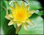 Chromatella, Pond Plants Direct - Buy Aquatic Plants, Water Lilies, Aquatic Shelf Plants, Floating Plants, Flowering Pond Plants, Low Growing Pond Plants, Pickerel Plants, Rush Plants, Cattail, Pond Snails, Tadpoles, Koi Fish, Arrowhead, Iris, Water Hyacinth, Water Lettuce, Anacharis, Hornwort, Pond Supplies