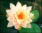 Clyde Ikins, Pond Plants Direct - Buy Aquatic Plants, Water Lilies, Aquatic Shelf Plants, Floating Plants, Flowering Pond Plants, Low Growing Pond Plants, Pickerel Plants, Rush Plants, Cattail, Pond Snails, Tadpoles, Koi Fish, Arrowhead, Iris, Water Hyacinth, Water Lettuce, Anacharis, Hornwort, Pond Supplies