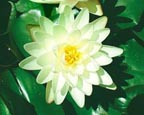 Denver, Pond Plants Direct - Buy Aquatic Plants, Water Lilies, Aquatic Shelf Plants, Floating Plants, Flowering Pond Plants, Low Growing Pond Plants, Pickerel Plants, Rush Plants, Cattail, Pond Snails, Tadpoles, Koi Fish, Arrowhead, Iris, Water Hyacinth, Water Lettuce, Anacharis, Hornwort, Pond Supplies