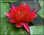 Red Water Lily, Water Plants, Pond Plants, Aquatic Plants.