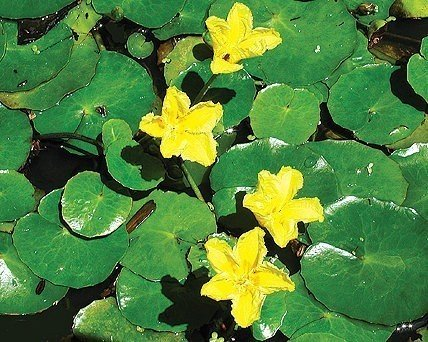 Buy floating hearts for Floating pond plants