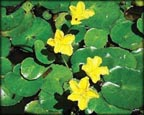 Floating Hearts, Pond Plants Direct - Buy Aquatic Plants, Water Lilies, Aquatic Shelf Plants, Floating Plants, Flowering Pond Plants, Low Growing Pond Plants, Pickerel Plants, Rush Plants, Cattail, Pond Snails, Tadpoles, Koi Fish, Arrowhead, Iris, Water Hyacinth, Water Lettuce, Anacharis, Hornwort, Pond Supplies