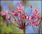 Flowering Rush, Pond Plants Direct - Buy Aquatic Plants, Water Lilies, Aquatic Shelf Plants, Floating Plants, Flowering Pond Plants, Low Growing Pond Plants, Pickerel Plants, Rush Plants, Cattail, Pond Snails, Tadpoles, Koi Fish, Arrowhead, Iris, Water Hyacinth, Water Lettuce, Anacharis, Hornwort, Pond Supplies
