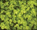 Golden Creeping Jenny, Pond Plants Direct - Buy Aquatic Plants, Water Lilies, Aquatic Shelf Plants, Floating Plants, Flowering Pond Plants, Low Growing Pond Plants, Pickerel Plants, Rush Plants, Cattail, Pond Snails, Tadpoles, Koi Fish, Arrowhead, Iris, Water Hyacinth, Water Lettuce, Anacharis, Hornwort, Pond Supplies