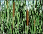 Graceful Cattail, Pond Plants Direct - Buy Aquatic Plants, Water Lilies, Aquatic Shelf Plants, Floating Plants, Flowering Pond Plants, Low Growing Pond Plants, Pickerel Plants, Rush Plants, Cattail, Pond Snails, Tadpoles, Koi Fish, Arrowhead, Iris, Water Hyacinth, Water Lettuce, Anacharis, Hornwort, Pond Supplies