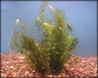 Hornwort, Water Plants, Pond Plants, Aquatic Plants.