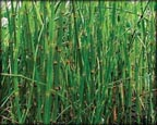 Horsetail Rush, Pond Plants Direct - Buy Aquatic Plants, Water Lilies, Aquatic Shelf Plants, Floating Plants, Flowering Pond Plants, Low Growing Pond Plants, Pickerel Plants, Rush Plants, Cattail, Pond Snails, Tadpoles, Koi Fish, Arrowhead, Iris, Water Hyacinth, Water Lettuce, Anacharis, Hornwort, Pond Supplies