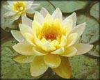 Inner Light, Pond Plants Direct - Buy Aquatic Plants, Water Lilies, Aquatic Shelf Plants, Floating Plants, Flowering Pond Plants, Low Growing Pond Plants, Pickerel Plants, Rush Plants, Cattail, Pond Snails, Tadpoles, Koi Fish, Arrowhead, Iris, Water Hyacinth, Water Lettuce, Anacharis, Hornwort, Pond Supplies
