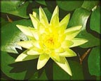 Joey Tomocik, Pond Plants Direct - Buy Aquatic Plants, Water Lilies, Aquatic Shelf Plants, Floating Plants, Flowering Pond Plants, Low Growing Pond Plants, Pickerel Plants, Rush Plants, Cattail, Pond Snails, Tadpoles, Koi Fish, Arrowhead, Iris, Water Hyacinth, Water Lettuce, Anacharis, Hornwort, Pond Supplies
