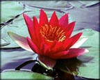 Laydekeri Fulgens, Pond Plants Direct - Buy Aquatic Plants, Water Lilies, Aquatic Shelf Plants, Floating Plants, Flowering Pond Plants, Low Growing Pond Plants, Pickerel Plants, Rush Plants, Cattail, Pond Snails, Tadpoles, Koi Fish, Arrowhead, Iris, Water Hyacinth, Water Lettuce, Anacharis, Hornwort, Pond Supplies