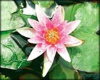 Laydekeri Lilacea, Pond Plants Direct - Buy Aquatic Plants, Water Lilies, Aquatic Shelf Plants, Floating Plants, Flowering Pond Plants, Low Growing Pond Plants, Pickerel Plants, Rush Plants, Cattail, Pond Snails, Tadpoles, Koi Fish, Arrowhead, Iris, Water Hyacinth, Water Lettuce, Anacharis, Hornwort, Pond Supplies