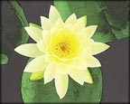 Lemon Mist, Pond Plants Direct - Buy Aquatic Plants, Water Lilies, Aquatic Shelf Plants, Floating Plants, Flowering Pond Plants, Low Growing Pond Plants, Pickerel Plants, Rush Plants, Cattail, Pond Snails, Tadpoles, Koi Fish, Arrowhead, Iris, Water Hyacinth, Water Lettuce, Anacharis, Hornwort, Pond Supplies