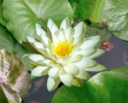 Perry's Double White - Hardy Water Lily