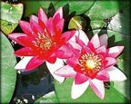 Perry's Baby Red, Pond Plants Direct - Buy Aquatic Plants, Water Lilies, Aquatic Shelf Plants, Floating Plants, Flowering Pond Plants, Low Growing Pond Plants, Pickerel Plants, Rush Plants, Cattail, Pond Snails, Tadpoles, Koi Fish, Arrowhead, Iris, Water Hyacinth, Water Lettuce, Anacharis, Hornwort, Pond Supplies
