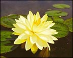 Perry's Double Yellow, Pond Plants Direct - Buy Aquatic Plants, Water Lilies, Aquatic Shelf Plants, Floating Plants, Flowering Pond Plants, Low Growing Pond Plants, Pickerel Plants, Rush Plants, Cattail, Pond Snails, Tadpoles, Koi Fish, Arrowhead, Iris, Water Hyacinth, Water Lettuce, Anacharis, Hornwort, Pond Supplies