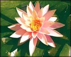 Orange Water Lily, Water Plants, Pond Plants, Aquatic Plants.