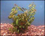Red Ludwigia, Water Plants, Pond Plants, Aquatic Plants.