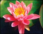 Rose Arey, Pond Plants Direct - Buy Aquatic Plants, Water Lilies, Aquatic Shelf Plants, Floating Plants, Flowering Pond Plants, Low Growing Pond Plants, Pickerel Plants, Rush Plants, Cattail, Pond Snails, Tadpoles, Koi Fish, Arrowhead, Iris, Water Hyacinth, Water Lettuce, Anacharis, Hornwort, Pond Supplies