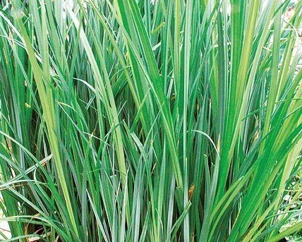 Buy sedge for Tall grass plants