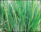 Sedge, Pond Plants Direct - Buy Aquatic Plants, Water Lilies, Aquatic Shelf Plants, Floating Plants, Flowering Pond Plants, Low Growing Pond Plants, Pickerel Plants, Rush Plants, Cattail, Pond Snails, Tadpoles, Koi Fish, Arrowhead, Iris, Water Hyacinth, Water Lettuce, Anacharis, Hornwort, Pond Supplies