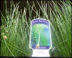 Spike Rush, Pond Plants Direct - Buy Aquatic Plants, Water Lilies, Aquatic Shelf Plants, Floating Plants, Flowering Pond Plants, Low Growing Pond Plants, Pickerel Plants, Rush Plants, Cattail, Pond Snails, Tadpoles, Koi Fish, Arrowhead, Iris, Water Hyacinth, Water Lettuce, Anacharis, Hornwort, Pond Supplies