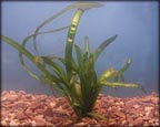 Vallisneria, Pond Plants Direct - Buy Aquatic Plants, Water Lilies, Aquatic Shelf Plants, Floating Plants, Flowering Pond Plants, Low Growing Pond Plants, Pickerel Plants, Rush Plants, Cattail, Pond Snails, Tadpoles, Koi Fish, Arrowhead, Iris, Water Hyacinth, Water Lettuce, Anacharis, Hornwort, Pond Supplies
