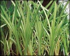 Variegated Cattail, Pond Plants Direct - Buy Aquatic Plants, Water Lilies, Aquatic Shelf Plants, Floating Plants, Flowering Pond Plants, Low Growing Pond Plants, Pickerel Plants, Rush Plants, Cattail, Pond Snails, Tadpoles, Koi Fish, Arrowhead, Iris, Water Hyacinth, Water Lettuce, Anacharis, Hornwort, Pond Supplies
