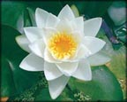 Virginalis, Pond Plants Direct - Buy Aquatic Plants, Water Lilies, Aquatic Shelf Plants, Floating Plants, Flowering Pond Plants, Low Growing Pond Plants, Pickerel Plants, Rush Plants, Cattail, Pond Snails, Tadpoles, Koi Fish, Arrowhead, Iris, Water Hyacinth, Water Lettuce, Anacharis, Hornwort, Pond Supplies