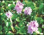 Water Hyacinth, Water Plants, Pond Plants, Aquatic Plants.