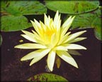 Yellow Queen, Pond Plants Direct - Buy Aquatic Plants, Water Lilies, Aquatic Shelf Plants, Floating Plants, Flowering Pond Plants, Low Growing Pond Plants, Pickerel Plants, Rush Plants, Cattail, Pond Snails, Tadpoles, Koi Fish, Arrowhead, Iris, Water Hyacinth, Water Lettuce, Anacharis, Hornwort, Pond Supplies