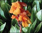 Canna Bengal Tiger, Pond Plants Direct - Buy Aquatic Plants, Water Lilies, Aquatic Shelf Plants, Floating Plants, Flowering Pond Plants, Low Growing Pond Plants, Pickerel Plants, Rush Plants, Cattail, Pond Snails, Tadpoles, Koi Fish, Arrowhead, Iris, Water Hyacinth, Water Lettuce, Anacharis, Hornwort, Pond Supplies