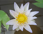 Blue Water Lily, Pond Plants Direct - Buy Aquatic Plants, Water Lilies, Aquatic Shelf Plants, Floating Plants, Flowering Pond Plants, Low Growing Pond Plants, Pickerel Plants, Rush Plants, Cattail, Pond Snails, Tadpoles, Koi Fish, Arrowhead, Iris, Water Hyacinth, Water Lettuce, Anacharis, Hornwort, Pond Supplies