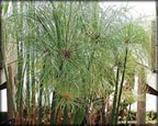 Dwarf Giant Papyrus, Pond Plants Direct - Buy Aquatic Plants, Water Lilies, Aquatic Shelf Plants, Floating Plants, Flowering Pond Plants, Low Growing Pond Plants, Pickerel Plants, Rush Plants, Cattail, Pond Snails, Tadpoles, Koi Fish, Arrowhead, Iris, Water Hyacinth, Water Lettuce, Anacharis, Hornwort, Pond Supplies