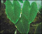 Green Taro, Pond Plants Direct - Buy Aquatic Plants, Water Lilies, Aquatic Shelf Plants, Floating Plants, Flowering Pond Plants, Low Growing Pond Plants, Pickerel Plants, Rush Plants, Cattail, Pond Snails, Tadpoles, Koi Fish, Arrowhead, Iris, Water Hyacinth, Water Lettuce, Anacharis, Hornwort, Pond Supplies