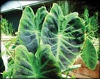 Imperial Taro, Pond Plants Direct - Buy Aquatic Plants, Water Lilies, Aquatic Shelf Plants, Floating Plants, Flowering Pond Plants, Low Growing Pond Plants, Pickerel Plants, Rush Plants, Cattail, Pond Snails, Tadpoles, Koi Fish, Arrowhead, Iris, Water Hyacinth, Water Lettuce, Anacharis, Hornwort, Pond Supplies