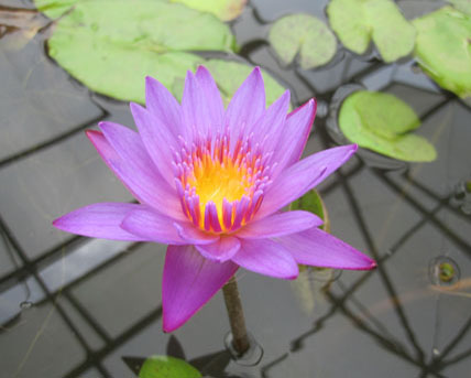purple water lily, Pond Plants Direct - Buy Aquatic Plants, Water Lilies, Aquatic Shelf Plants, Floating Plants, Flowering Pond Plants, Low Growing Pond Plants, Pickerel Plants, Rush Plants, Cattail, Pond Snails, Tadpoles, Koi Fish, Arrowhead, Iris, Water Hyacinth, Water Lettuce, Anacharis, Hornwort, Pond Supplies