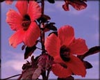 Red Night Blooming Hibiscus, Pond Plants Direct - Buy Aquatic Plants, Water Lilies, Aquatic Shelf Plants, Floating Plants, Flowering Pond Plants, Low Growing Pond Plants, Pickerel Plants, Rush Plants, Cattail, Pond Snails, Tadpoles, Koi Fish, Arrowhead, Iris, Water Hyacinth, Water Lettuce, Anacharis, Hornwort, Pond Supplies