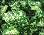 Variegated Taro, Pond Plants Direct - Buy Aquatic Plants, Water Lilies, Aquatic Shelf Plants, Floating Plants, Flowering Pond Plants, Low Growing Pond Plants, Pickerel Plants, Rush Plants, Cattail, Pond Snails, Tadpoles, Koi Fish, Arrowhead, Iris, Water Hyacinth, Water Lettuce, Anacharis, Hornwort, Pond Supplies