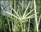 Variegated Umbrella Palm, Pond Plants Direct - Buy Aquatic Plants, Water Lilies, Aquatic Shelf Plants, Floating Plants, Flowering Pond Plants, Low Growing Pond Plants, Pickerel Plants, Rush Plants, Cattail, Pond Snails, Tadpoles, Koi Fish, Arrowhead, Iris, Water Hyacinth, Water Lettuce, Anacharis, Hornwort, Pond Supplies
